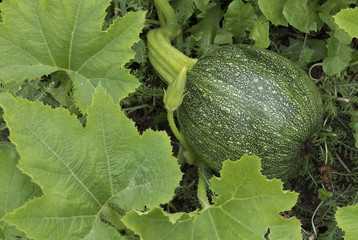 Green squash grows in the garden in the summer.