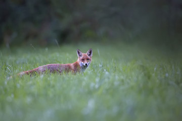 Fox in a clearing in the morning mist