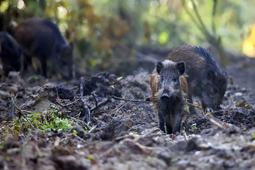 Wild boars in the forest, in the wild