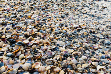Many shells that lie on the morning shore in the sun.