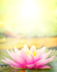 Foto auf Acrylglas Lotosblume The pink lotus that took a beautiful morning sun back.