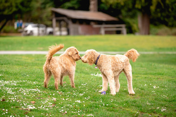 Two poodle cross mix dogs in a park greeting eachother.