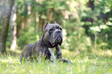 Dog Cane Corso Italiano. Dog breed cane Corso gray lies in the summer green grass.