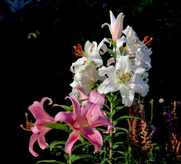 Flowering lily in the garden in the summer. Natural blurred background.