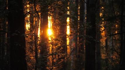 Fotobehang - Sunset sun shining through pine tree silhouettes in dark forest, 4K UHD.