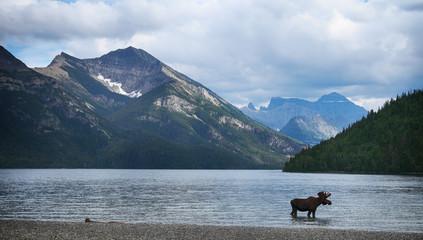 Moose in a mountain lake (Canada)