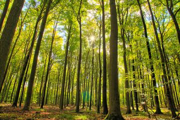Obraz Las liściasty polska pomorze drzewa - fototapety do salonu