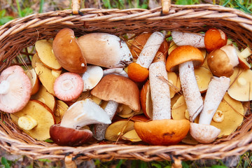 It is a lot of fresh-gathered forest mushrooms with brown and orange hats, a close up