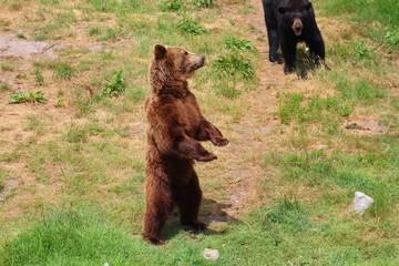 ours brun dans son parc au zoo