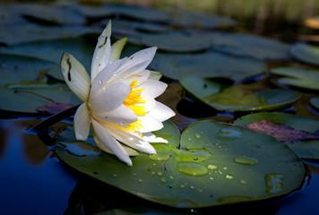 Fond de hotte en verre imprimé Nénuphars water lily flower on lake