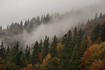Firs and autumn trees in the fog on the mountainside.
