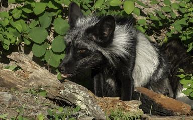 Silver Fox Portrait