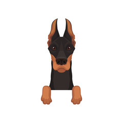 Portrait of dobermann with paws. Dog hanging on border. Home pet with black coat and long pointed ears. Flat vector design