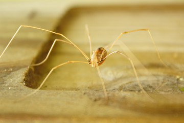 One Brown Tan Daddy Long Legs Monochromatic Creepy Crawling Spider Soft Focus Nature Close Up Macro With Wood Post Background
