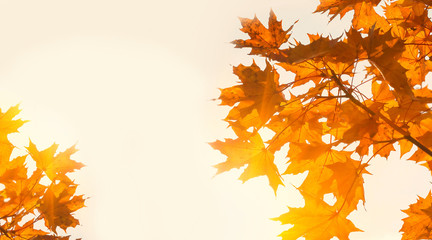 Yellow maple leaves on the background of sunny autumn sky. Autumn foliage background. Copy space for your text