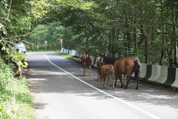 Horses are walking. Asphalt road. Travelling, Horse crossing road