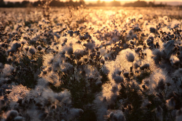 blooming field at sunset