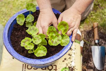 Older man's hands planting a geranium for summer planting, Uk