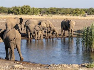 African elephant herd, Loxodonta a.africana, near waterhole, Etosha National Park, Namibia