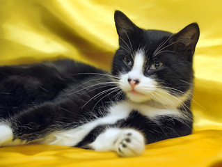 black with white short-haired European cat on a yellow background
