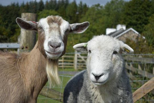 Sheep and goat staring at the camera