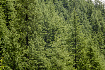 green coniferous forest on the hills