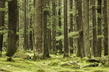 thick green coniferous forest and rocks