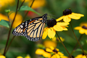 Monarch butterfly pollinating yellow cone flowers