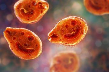 Balantidium coli protozoan