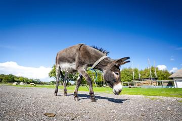 Donkey walking free around in a farm yard