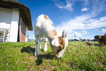 Goat eating grass at a farm in the summer