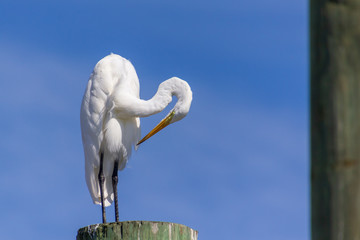 Egret, Broad Creek Marina, Hilton Head Island, South Carolina