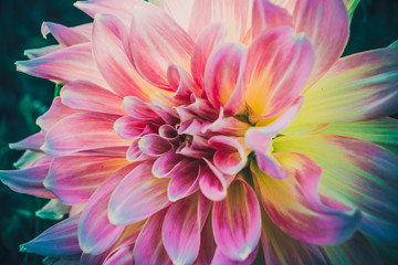 chrysanthemum with pink and yellow petals