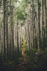 A hiking trail running through aspen trees in Colorado.
