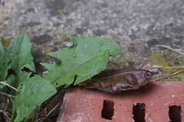 Mit Regentropfen bedecktes Löwenzahnblatt verdeckt absterbendes braunes Blatt auf Ziegelstein