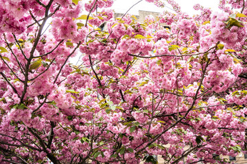 Magnolia blooming in New York park