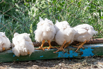 Broiler chickens near the fence. Rural poultry farm.