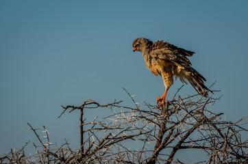Junger Greifvogel