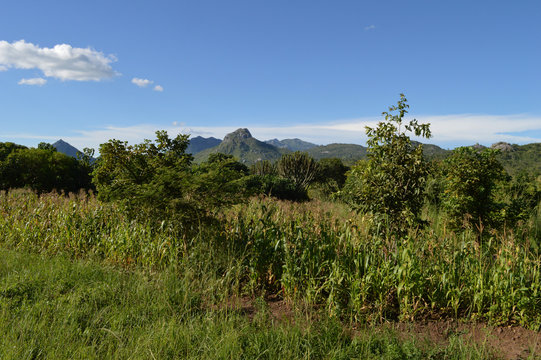 An exotic plants near corn fields and mountains in Malawi in Africa