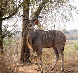 The Greater Male Kudu Antelope From South Africa