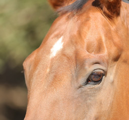 A close up view of the face of a horse with a white star on his forehead.  The color of the horse is bay with copper.