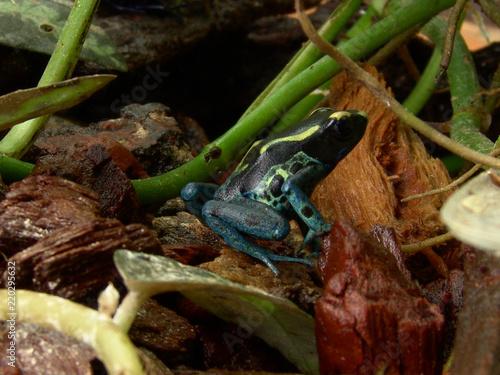 Dyeing Dart Frog Dendrobates Tinctorius In Terrarium Stock Photo
