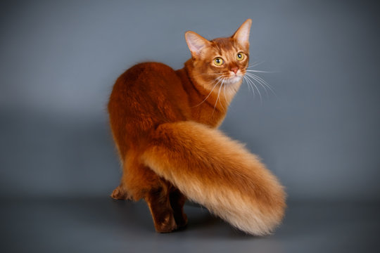 Somali cat on colored backgrounds