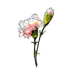 Isolated Carnation Flower Illustrations