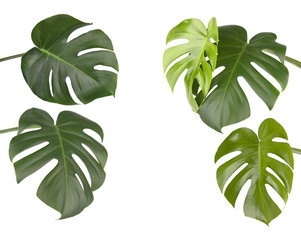 Tropical jungle monstera leaves isolated, isolated on white background