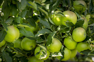Close-up of green apples on a tree