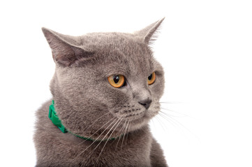 blue gray british cat isolated on the white