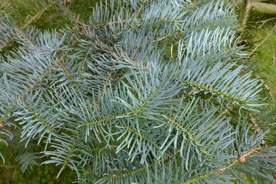 Abies concolor, Violacea