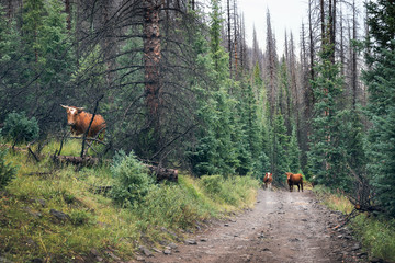Open ranch, cows on the road in Rio Grande National Forest,  Colorado, US
