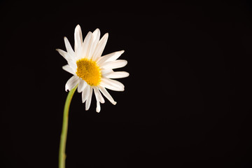 Gerbera Daisy, white on black